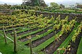 Vineyard, Bolton Castle Gardens - geograph.org.uk - 585105.jpg