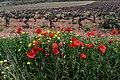 Vinya i roselles, el Terme, Torrelles de Foix. (49762266146).jpg