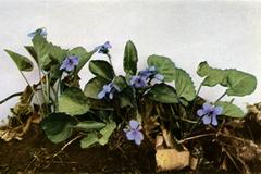 Viola selkirkii WFNY-139A.png