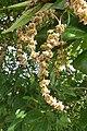 Vitex altissima - Peacock Chaste Tree flowers at Blathur 2014 (1).jpg