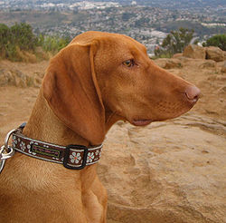 Gsp Vs Vizsla Which Dog Can Handle Being Alone