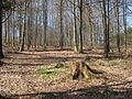 Voděradské bučiny na jaře (001).JPG