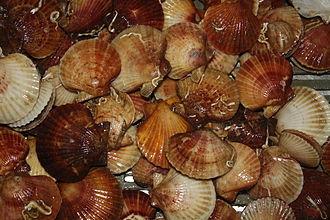 Queen scallop - Queen scallop caught in fisheries