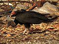 Vultures at Celestún Garbage Dump - Flickr - treegrow.jpg