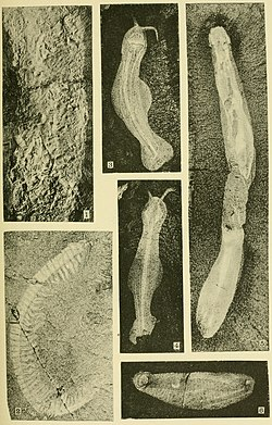 Walcott Cambrian Geology and Paleontology II plate 22.jpg