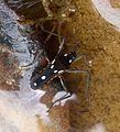 Water Cricket. Velia rivulorum - Flickr - gailhampshire.jpg