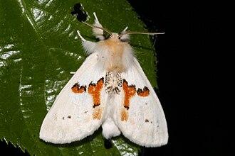 Leucodonta bicoloria - Image: Weisser Zahnspinner Scholley