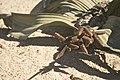 Welwitschia mirabilis - plante mâle avec ses strobiles.jpg