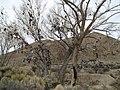 Western NV Shoe Tree along Hwy50 - panoramio.jpg