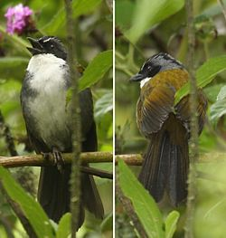 White-browed-brush-finch.jpg
