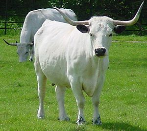 English: White Park cows