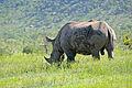 White Rhino (Ceratotherium simum) male (17264228489).jpg