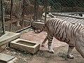 White Tiger from Bannerghatta National Park 8518.JPG