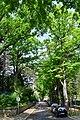 Wien-Hietzing - Naturdenkmal 72 - Eichenallee Weidlichgasse.jpg