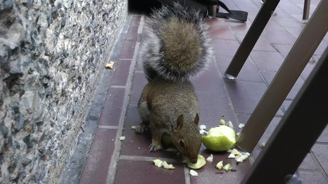 File:Wikimania squirrel.webm