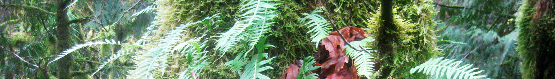 mossy Pacific Northwest tree with ferns