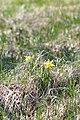 Wild Daffodil (Narcissus pseudonarcissus) - Guelph, Ontario 02.jpg