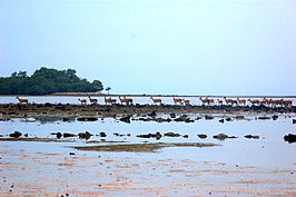 Wild Deers near Bama Point, Baluran.jpg