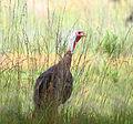Wild Turkey (7657677604).jpg