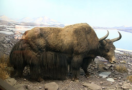Wild Yak Stuffed