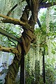 Wisteria floribunda 'Alba' kz02.jpg