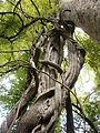 Wisteria sinensis tronco enredado detalle.JPG