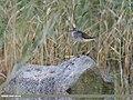 Wood Sandpiper (Tringa glareola) (30021342308).jpg