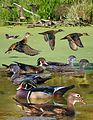 Wood duck from The Crossley ID Guide Eastern Birds.jpg