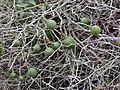 Woolly Caper Bush (Capparis tomentosa) green fruits (12818908164).jpg