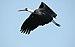 Wooly Necked Stork.jpg