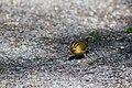 Worm-eating warbler (19679693598).jpg