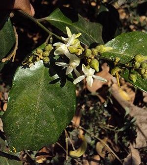 Xanthophyllum - Xanthophyllum arnottianum, India