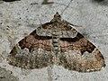 Xanthorhoe designata - Flame carpet - Ларенция капустная (26087654657).jpg