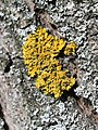 Xanthoria parietina on elm.jpg