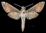 Xylophanes rufescens MHNT CUT 2010 0 357 Tingo Maria Peru male ventral.jpg