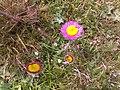 Yayla çiçeği - panoramio.jpg