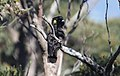 Yellow-tailed Black-Cockatoo (Calyptorhynchus funereus) (31008079290).jpg