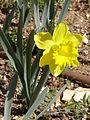 Yellow Narcissus pseudonarcissus.JPG