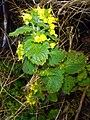 Yellow flowers, from Rize DSC07134.JPG