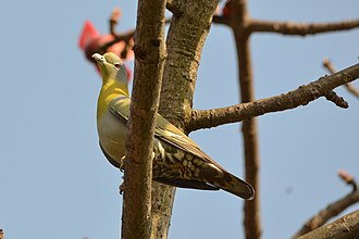 Yellow-footed green pigeon - Image: Yellow footed green pigeon