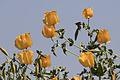 Yellow horned poppies - Glaucium sp 08.jpg