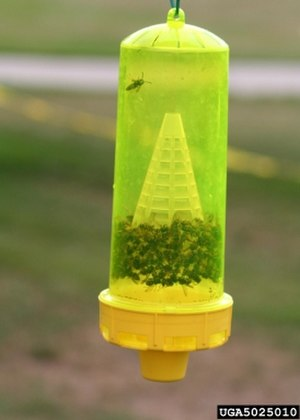 Vespula atropilosa - Heptyl butyrate trap containing both prairie yellowjackets and western yellowjackets