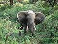 Young Elephant - Flickr - gailhampshire.jpg