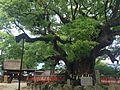 Yubuta no Mori Camphor Tree in Umi Hachiman Shrine 1.JPG