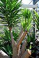 Yucca gigantea in Jardin des Plantes de Toulouse 02.jpg