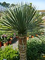 Yucca rostrata 3.jpg