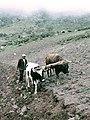 Yunta de bueyes - Pampas Grande.jpg