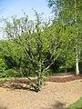 Zanthoxylum americanum01.jpg