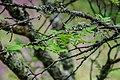 Zanthoxylum piperitum in Hackfalls Arboretum (2).jpg
