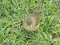 Zapata Sparrow - Laslovarga (3).JPG